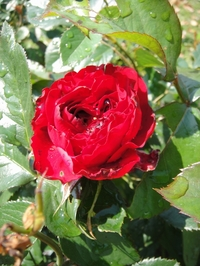 Blooming Rose ORI
