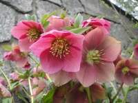 Christmas Roses in full bloom