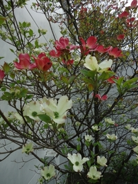 Red and white flowering dogwood