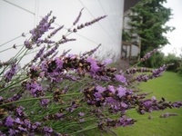 Best time to view Lavenders