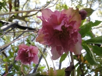 Blooming Christmas Rose