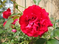 Beautiful Rose ORI