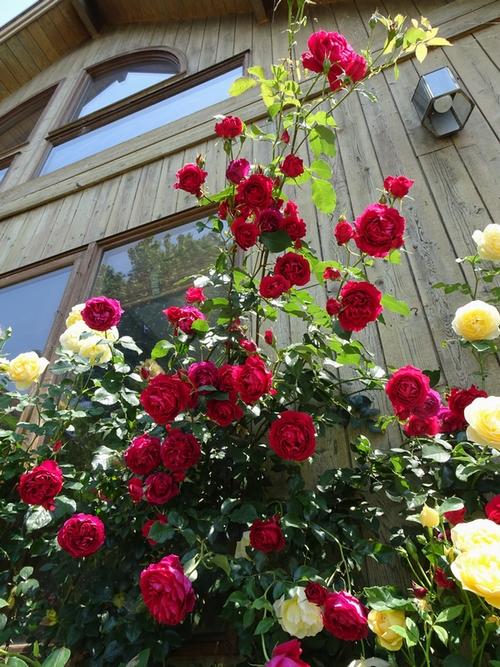20170522_Rose_1.jpg