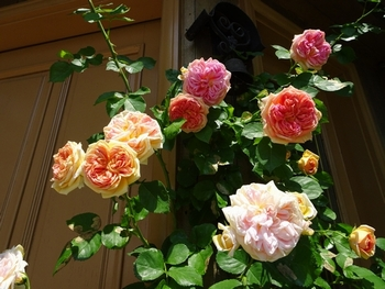 20170522_Rose_5.jpg