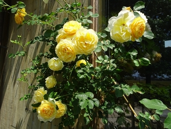 20170522_Rose_7.jpg