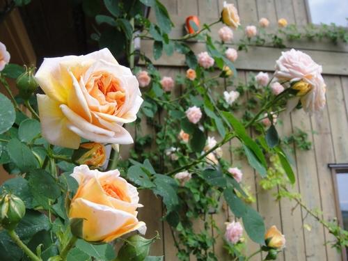 rose_150507_1.JPG
