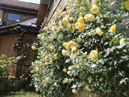 rose_150513_2.JPG